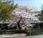 070331sakura05.JPG